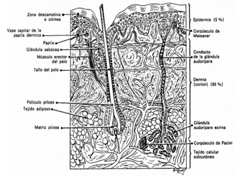 o 5° al 20° día.o Rápida fibroplasia sustentada por el fibroblasto y el colágeno.