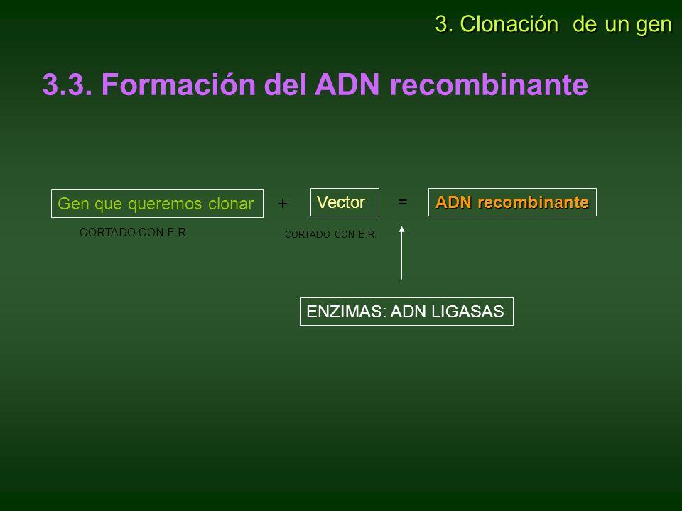 3.3. Formación del ADN recombinante Gen que queremos clonar + Vector = ADN recombinante ENZIMAS: ADN LIGASAS CORTADO CON E.R. 3. Clonación de un gen