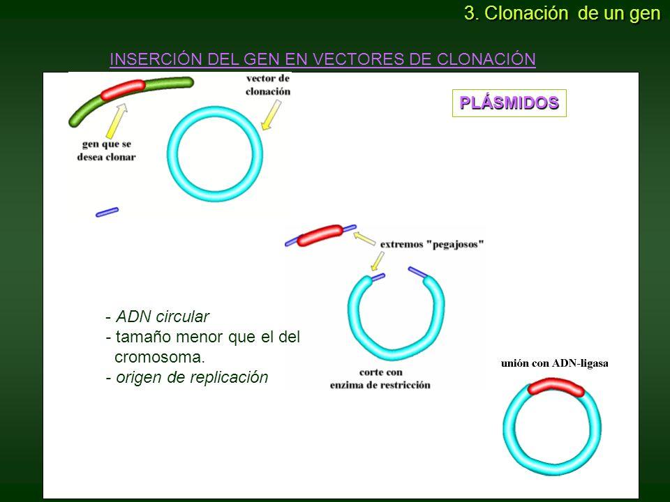 - ADN circular - tamaño menor que el del cromosoma. - origen de replicación PLÁSMIDOS INSERCIÓN DEL GEN EN VECTORES DE CLONACIÓN 3. Clonación de un ge