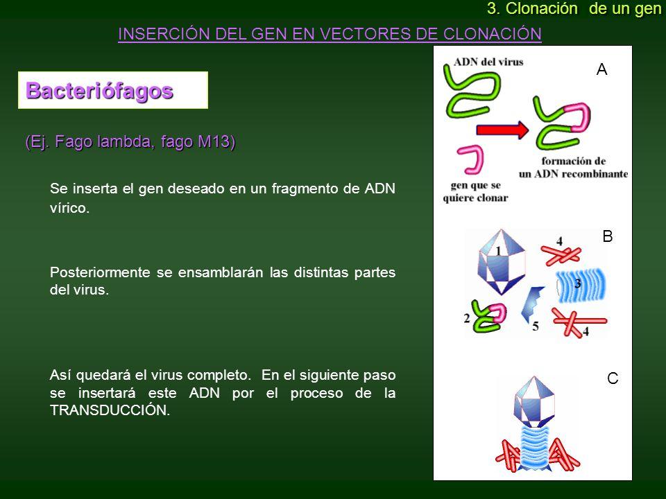 Bacteriófagos (Ej. Fago lambda, fago M13) Se inserta el gen deseado en un fragmento de ADN vírico. Posteriormente se ensamblarán las distintas partes