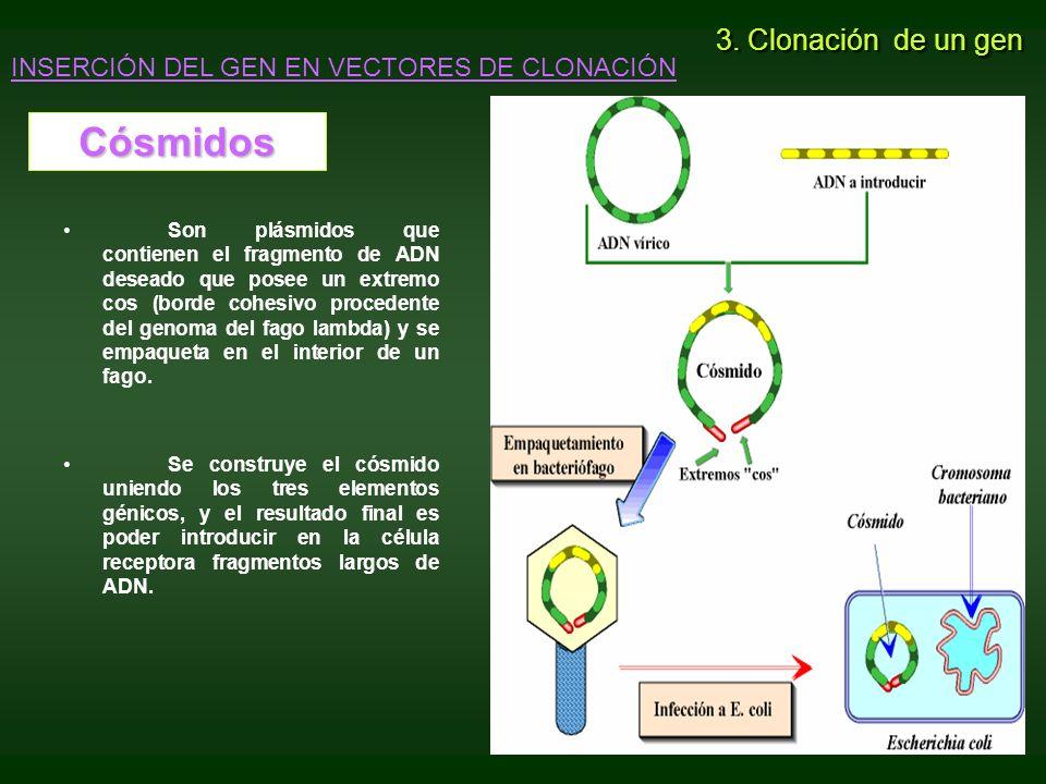 Son plásmidos que contienen el fragmento de ADN deseado que posee un extremo cos (borde cohesivo procedente del genoma del fago lambda) y se empaqueta