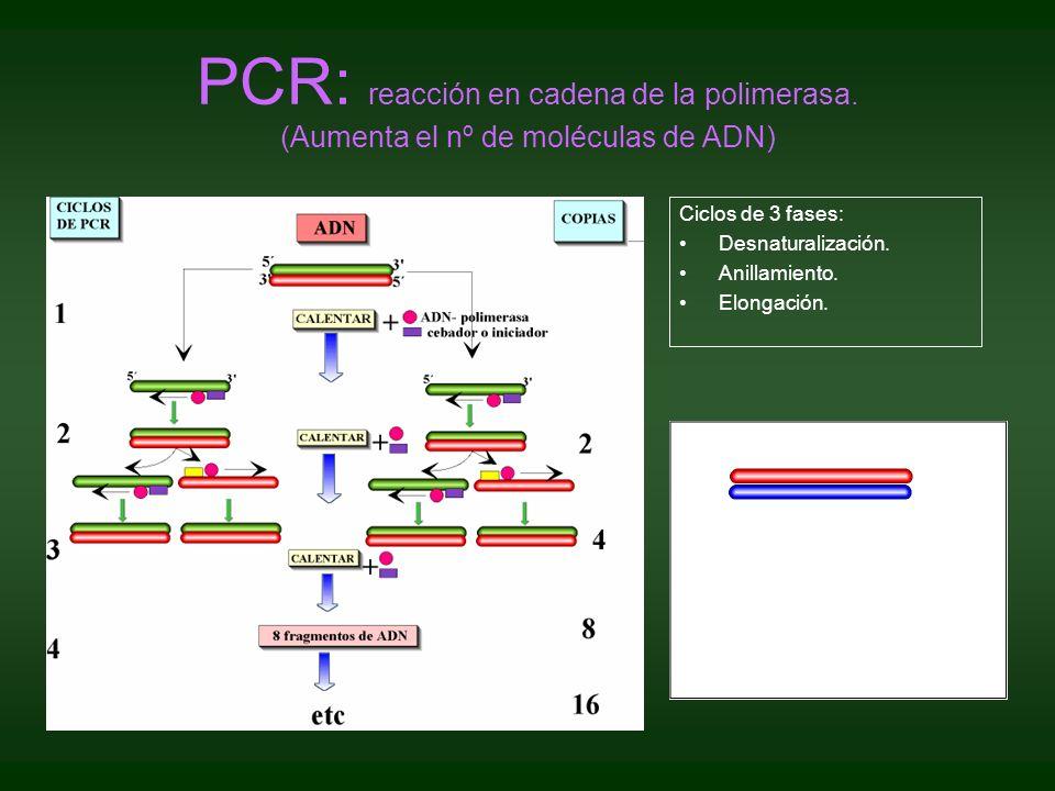 PCR: reacción en cadena de la polimerasa. (Aumenta el nº de moléculas de ADN) Ciclos de 3 fases: Desnaturalización. Anillamiento. Elongación.