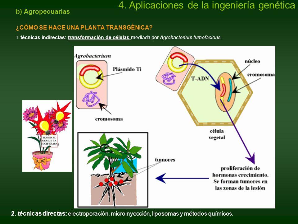 b) Agropecuarias ¿CÓMO SE HACE UNA PLANTA TRANSGÉNICA? 1. técnicas indirectas: transformación de células mediada por Agrobacterium tumefaciens. 2. téc