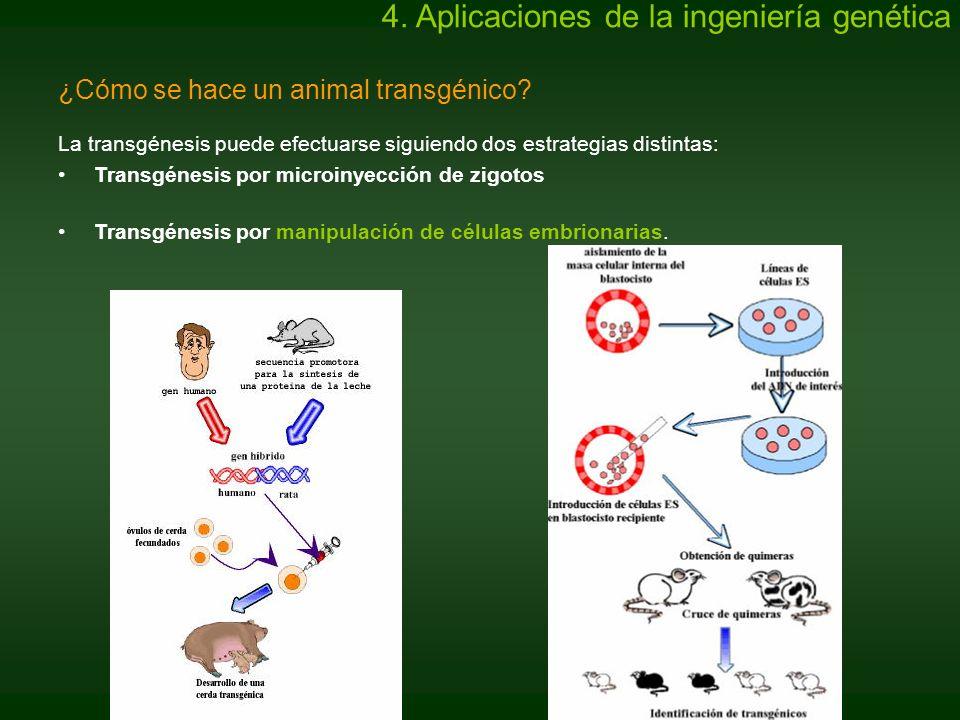 ¿Cómo se hace un animal transgénico? La transgénesis puede efectuarse siguiendo dos estrategias distintas: Transgénesis por microinyección de zigotos