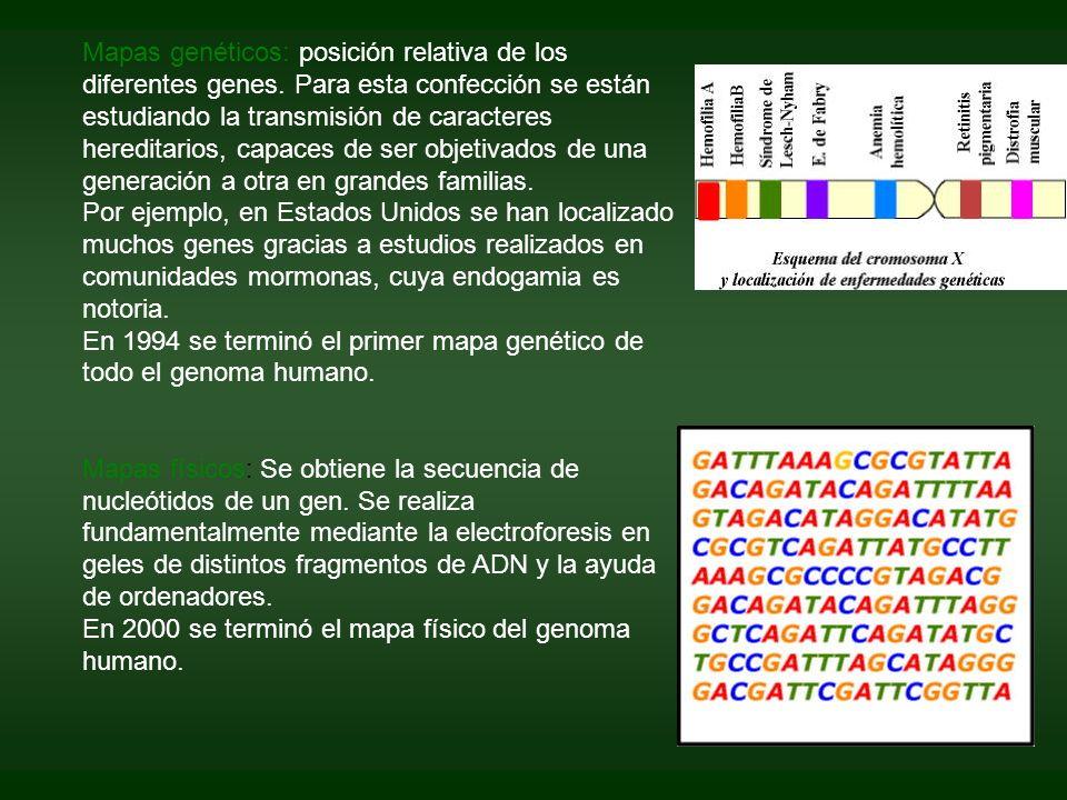 Mapas genéticos: posición relativa de los diferentes genes. Para esta confección se están estudiando la transmisión de caracteres hereditarios, capace
