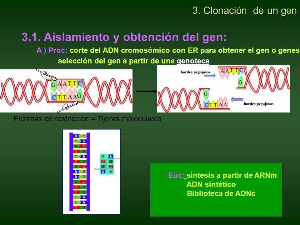 3.1. Aislamiento y obtención del gen: A ) Proc: corte del ADN cromosómico con ER para obtener el gen o genes. selección del gen a partir de una genote