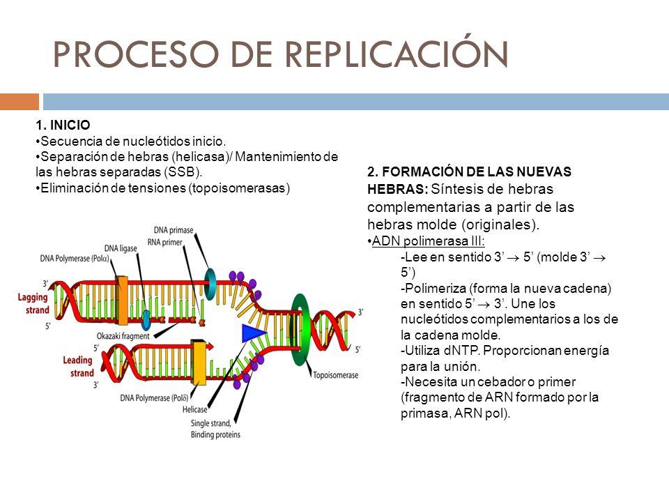 2. FORMACIÓN DE LAS NUEVAS HEBRAS: Síntesis de hebras complementarias a partir de las hebras molde (originales). ADN polimerasa III: -Lee en sentido 3
