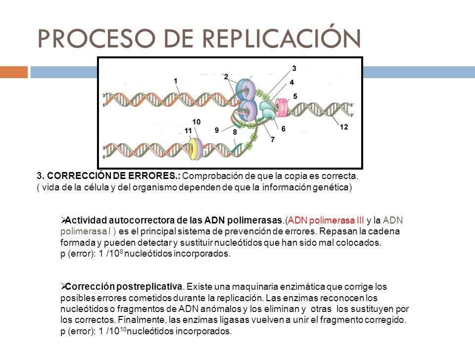 3. CORRECCIÓN DE ERRORES.: Comprobación de que la copia es correcta. ( vida de la célula y del organismo dependen de que la información genética) Acti
