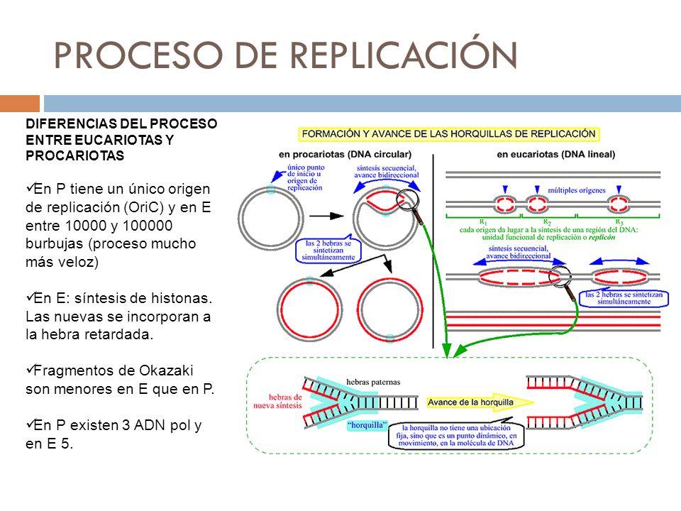 DIFERENCIAS DEL PROCESO ENTRE EUCARIOTAS Y PROCARIOTAS En P tiene un único origen de replicación (OriC) y en E entre 10000 y 100000 burbujas (proceso