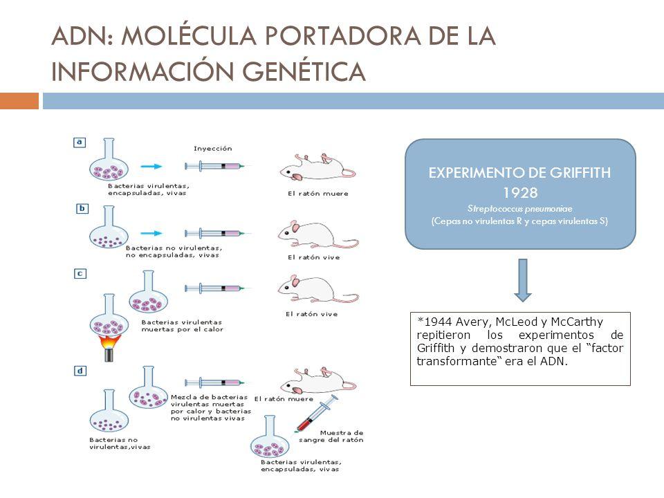 ADN: MOLÉCULA PORTADORA DE LA INFORMACIÓN GENÉTICA EXPERIMENTO DE GRIFFITH 1928 Streptococcus pneumoniae (Cepas no virulentas R y cepas virulentas S)
