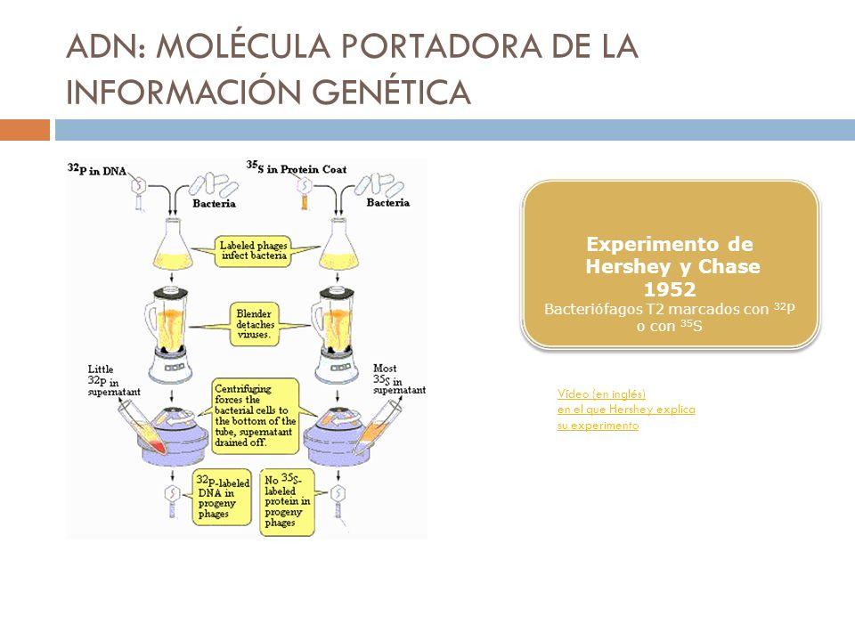 ADN: MOLÉCULA PORTADORA DE LA INFORMACIÓN GENÉTICA Experimento de Hershey y Chase 1952 Bacteriófagos T2 marcados con 32 P o con 35 S Experimento de He