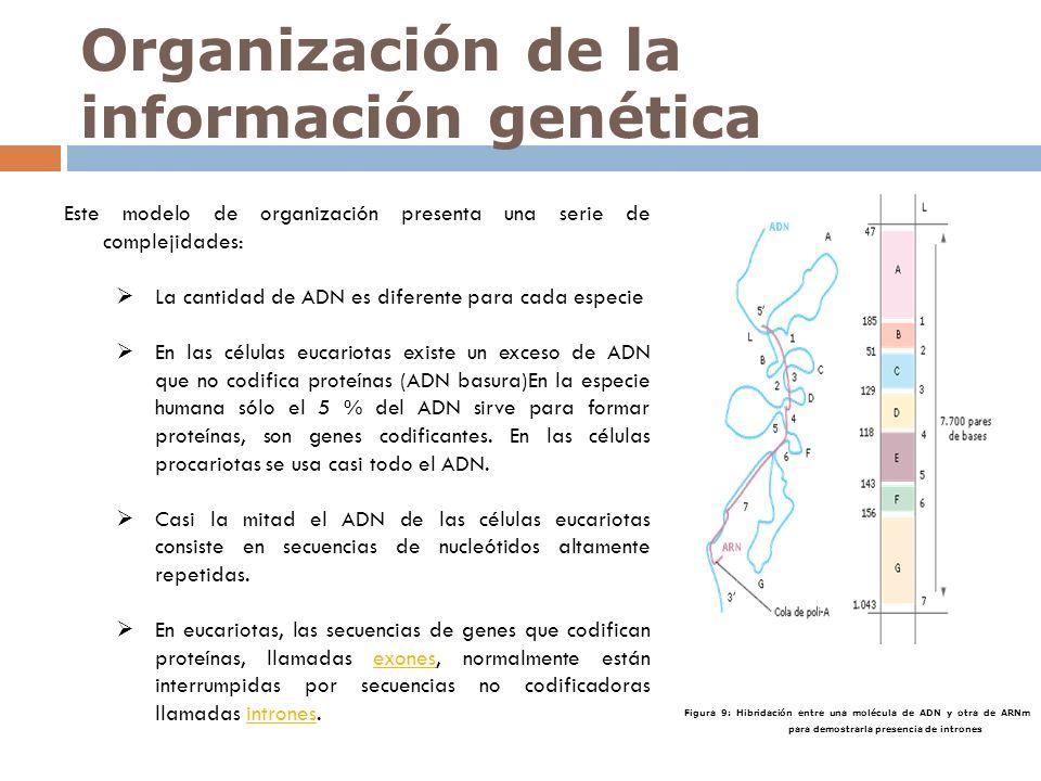 Este modelo de organización presenta una serie de complejidades: La cantidad de ADN es diferente para cada especie En las células eucariotas existe un