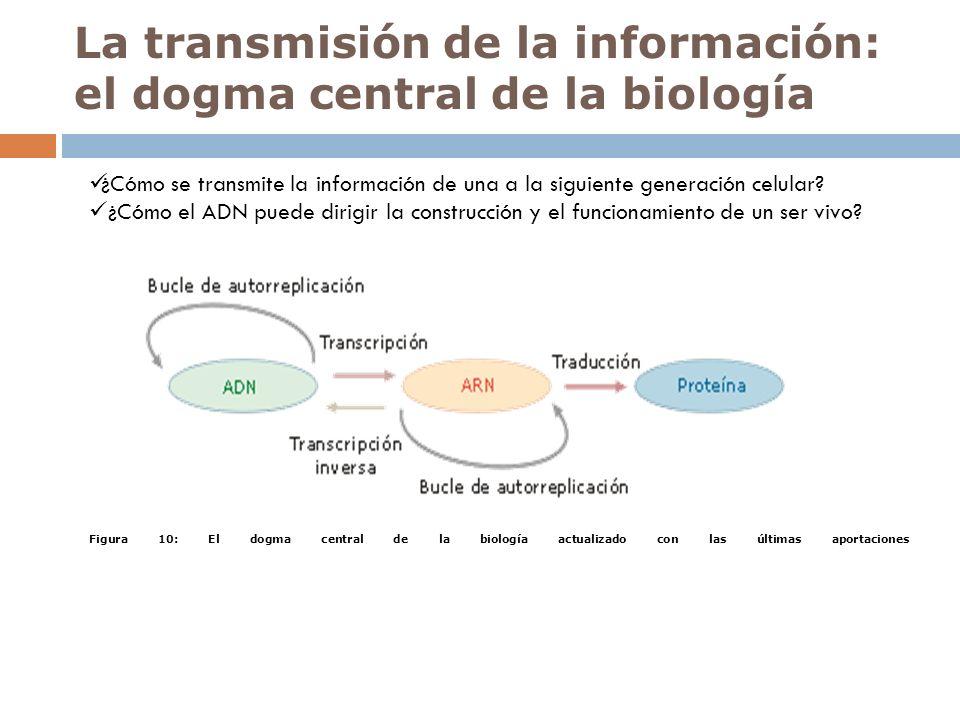 La transmisión de la información: el dogma central de la biología ¿Cómo se transmite la información de una a la siguiente generación celular? ¿Cómo el