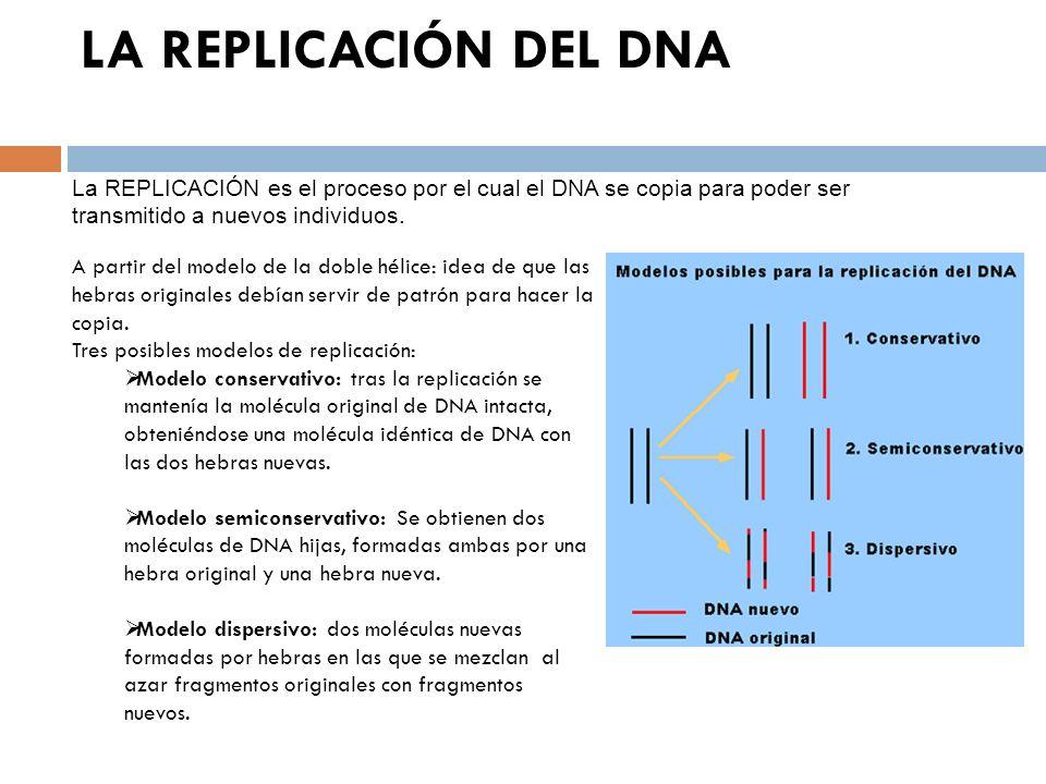 LA REPLICACIÓN DEL DNA La REPLICACIÓN es el proceso por el cual el DNA se copia para poder ser transmitido a nuevos individuos. A partir del modelo de