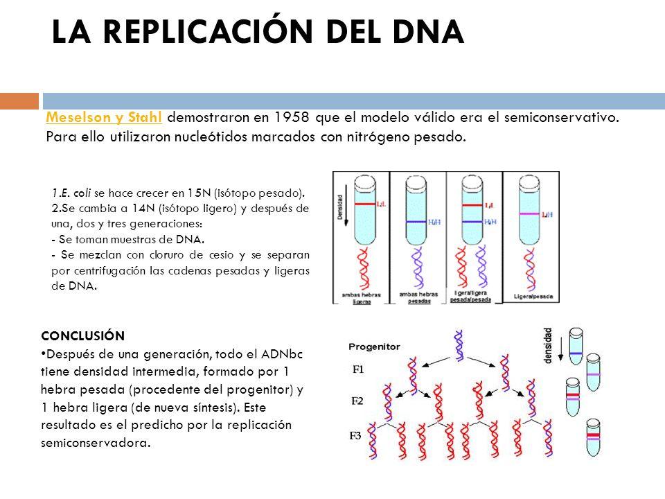 COMPONENTES QUE INTERVIENEN EN LA REPLICACIÓN ADN molde dNTPs y NTPs Iones Mg ++ Enzimas: Helicasas, separan las dos cadenas del ADN.