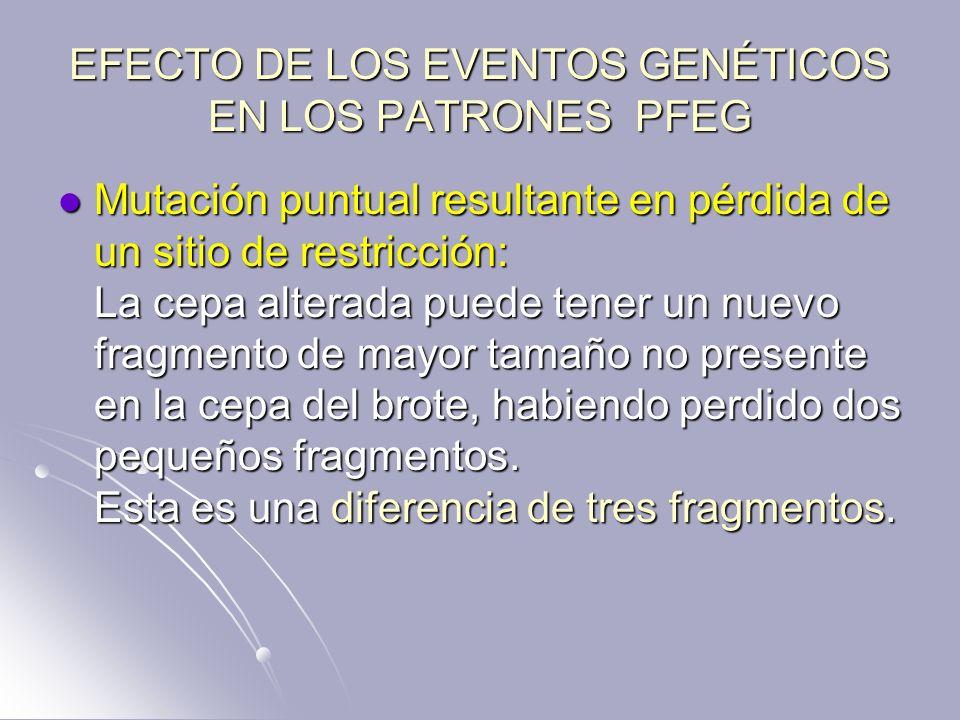 EFECTO DE LOS EVENTOS GENÉTICOS EN LOS PATRONES PFEG Mutación puntual resultante en pérdida de un sitio de restricción: La cepa alterada puede tener u