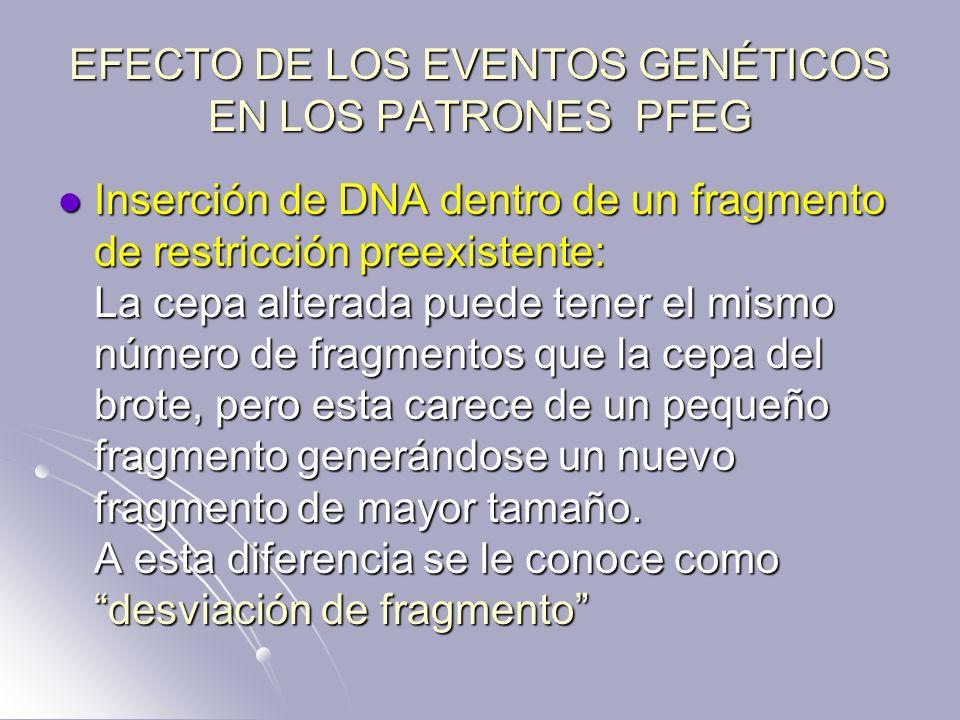 EFECTO DE LOS EVENTOS GENÉTICOS EN LOS PATRONES PFEG Inserción de DNA dentro de un fragmento de restricción preexistente: La cepa alterada puede tener