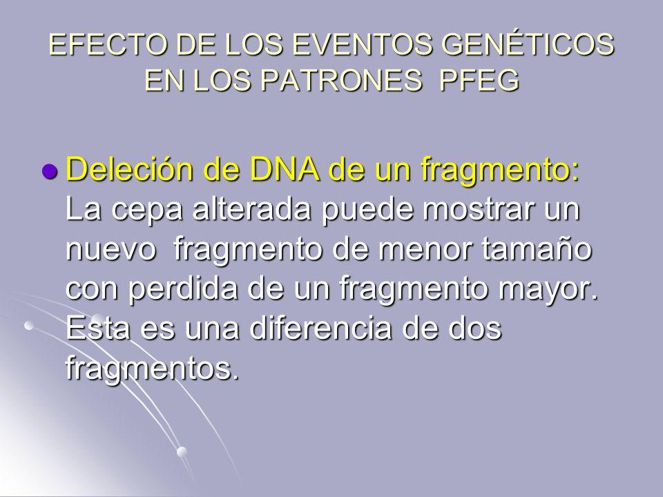 EFECTO DE LOS EVENTOS GENÉTICOS EN LOS PATRONES PFEG Deleción de DNA de un fragmento: La cepa alterada puede mostrar un nuevo fragmento de menor tamañ