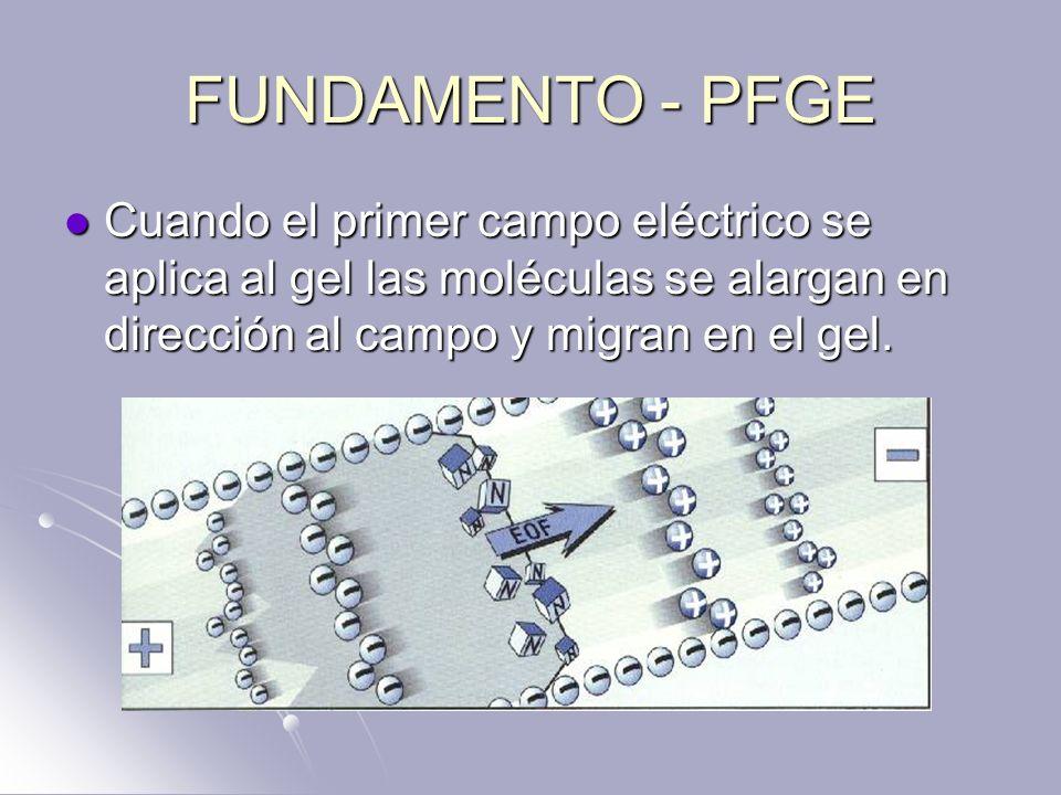 FUNDAMENTO - PFGE Cuando el primer campo eléctrico se aplica al gel las moléculas se alargan en dirección al campo y migran en el gel. Cuando el prime