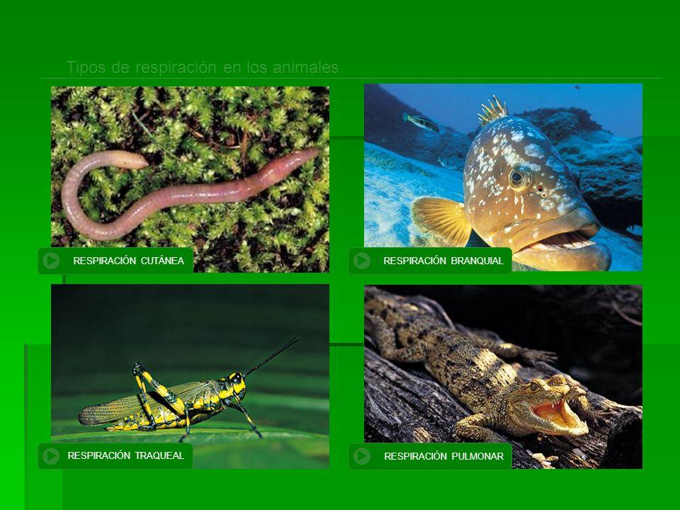 Tipos de respiración en los animales RESPIRACIÓN CUTÁNEA RESPIRACIÓN BRANQUIAL RESPIRACIÓN TRAQUEAL RESPIRACIÓN PULMONAR