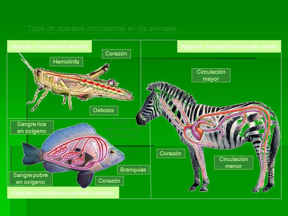 Sangre rica en oxígeno Sangre pobre en oxígeno Tipos de aparatos circulatorios en los animales Aparato circulatorio abiertoAparato circulatorio cerrad