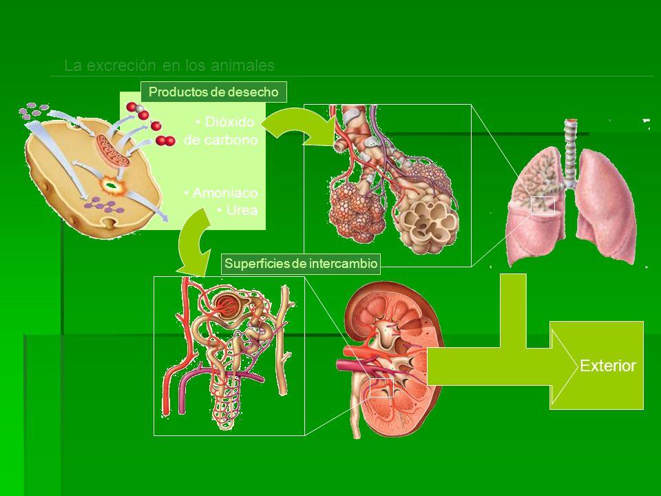Exterior Dióxido de carbono Amoniaco Urea La excreción en los animales Productos de desecho Superficies de intercambio