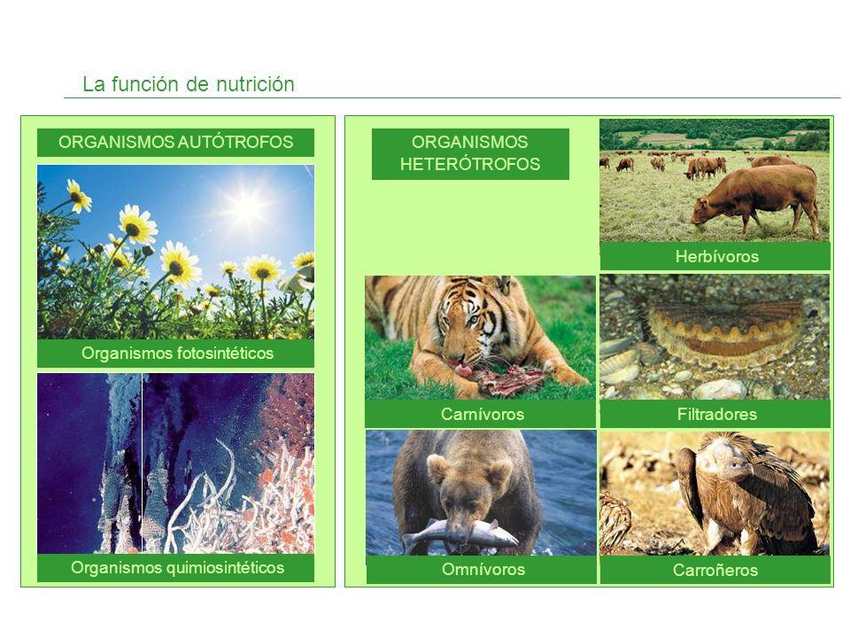 INTERCAMBIO DE GASES La nutrición de las plantas Organismos autótrofos ABSORCIÓN DE NUTRIENTES FOTOSÍNTESIS TRANSPORTE RESPIRACIÓN EXCRECIÓN Actividades 3 y 4 página 29