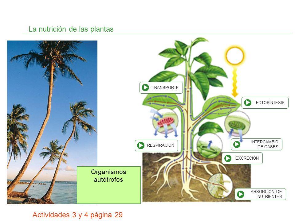 INTERCAMBIO DE GASES La nutrición de las plantas Organismos autótrofos ABSORCIÓN DE NUTRIENTES FOTOSÍNTESIS TRANSPORTE RESPIRACIÓN EXCRECIÓN Actividad