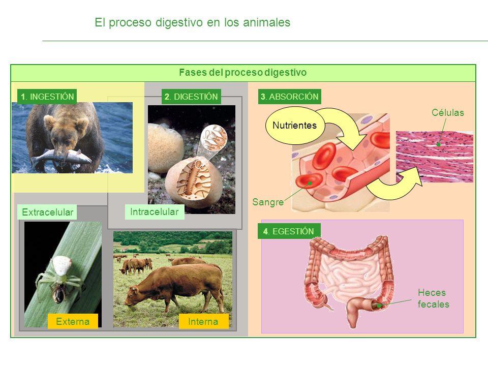El proceso digestivo en los animales Fases del proceso digestivo 1. INGESTIÓN 2. DIGESTIÓN Intracelular Interna 3. ABSORCIÓN Nutrientes Células 4. EGE