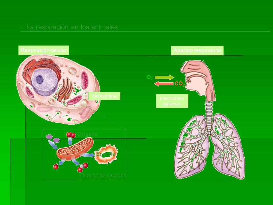 La respiración en los animales Respiración celular Oxígeno Energía Dióxido de carbono Mitocondria Aparato respiratorio O2O2 CO 2 Intercambio gaseoso