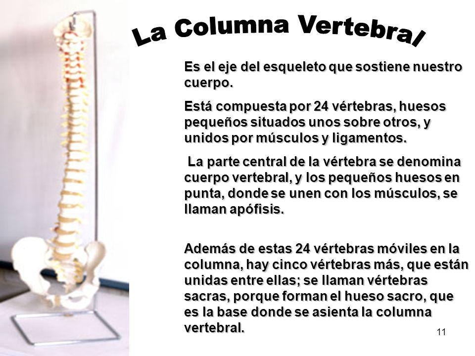 11 Es el eje del esqueleto que sostiene nuestro cuerpo. Está compuesta por 24 vértebras, huesos pequeños situados unos sobre otros, y unidos por múscu