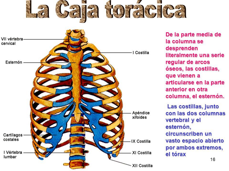 16 De la parte media de la columna se desprenden literalmente una serie regular de arcos óseos, las costillas, que vienen a articularse en la parte an