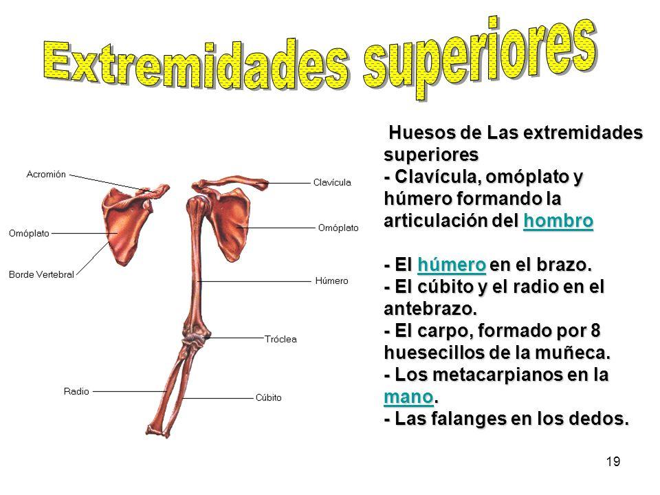 19 Huesos de Las extremidades superiores - Clavícula, omóplato y húmero formando la articulación del hombro hombro - El húmero en el brazo. - El cúbit