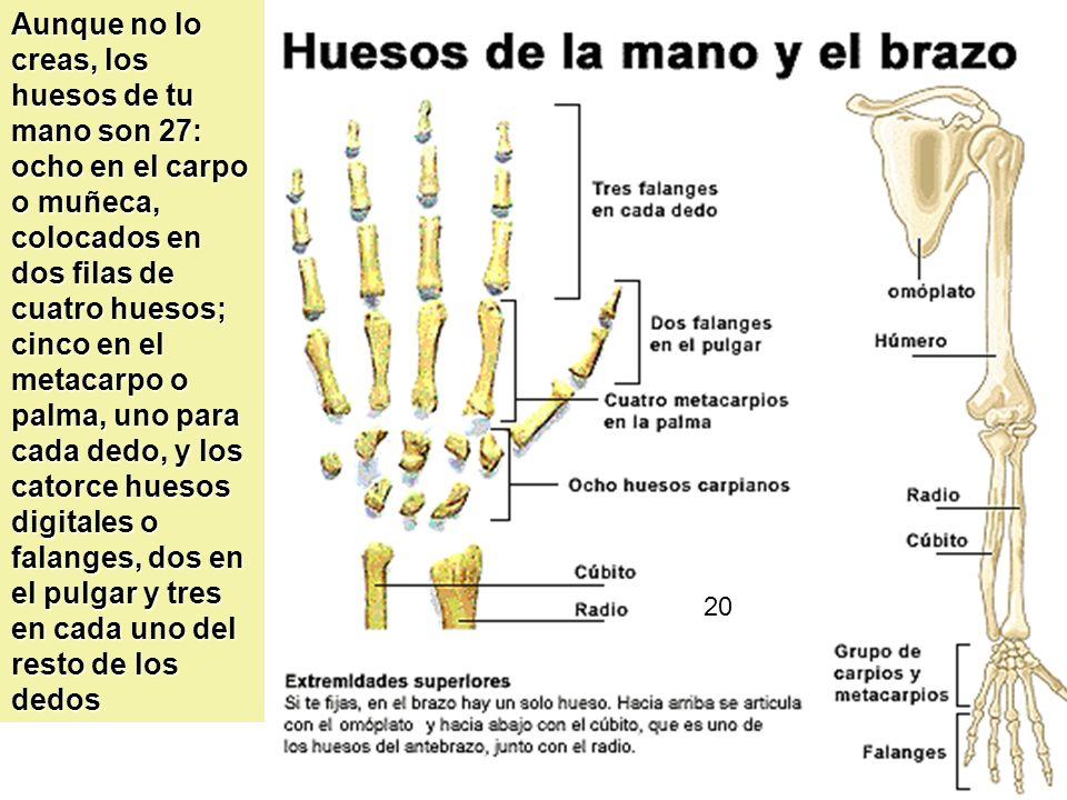 20 Aunque no lo creas, los huesos de tu mano son 27: ocho en el carpo o muñeca, colocados en dos filas de cuatro huesos; cinco en el metacarpo o palma