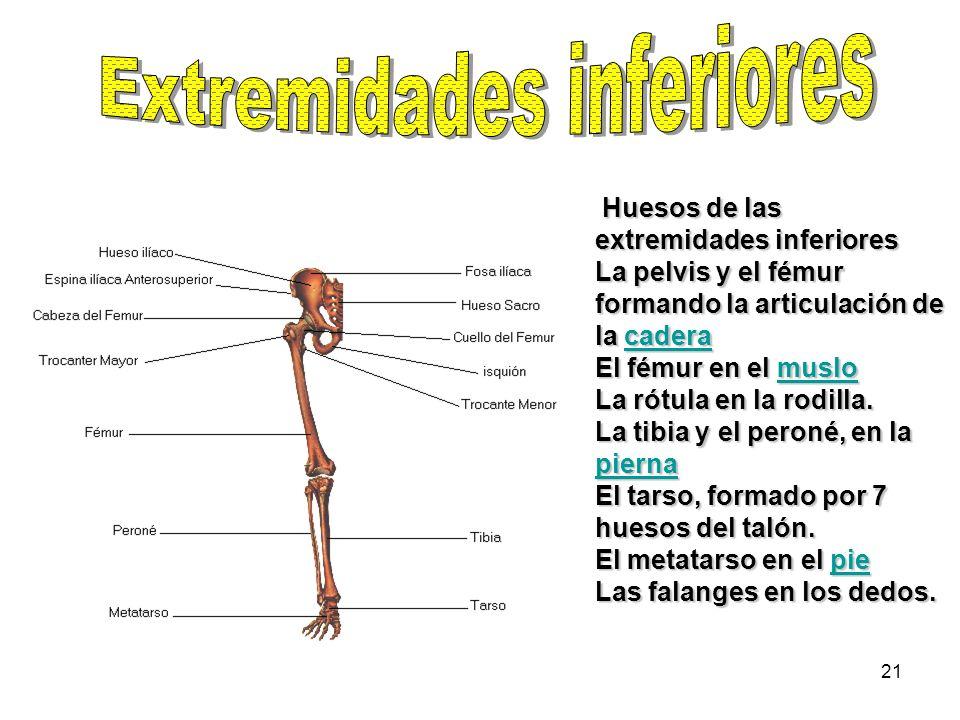 21 Huesos de las extremidades inferiores La pelvis y el fémur formando la articulación de la cadera El fémur en el muslo La rótula en la rodilla. La t