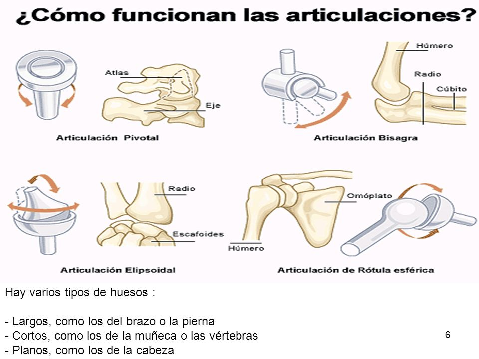 6 Hay varios tipos de huesos : - Largos, como los del brazo o la pierna - Cortos, como los de la muñeca o las vértebras - Planos, como los de la cabez