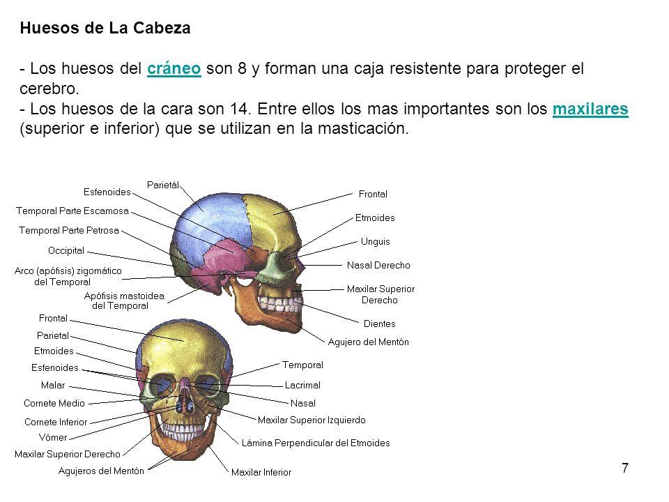 7 Huesos de La Cabeza - Los huesos del cráneo son 8 y forman una caja resistente para proteger el cerebro. - Los huesos de la cara son 14. Entre ellos