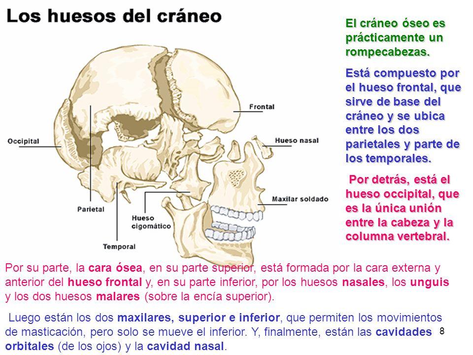 8 Por su parte, la cara ósea, en su parte superior, está formada por la cara externa y anterior del hueso frontal y, en su parte inferior, por los hue
