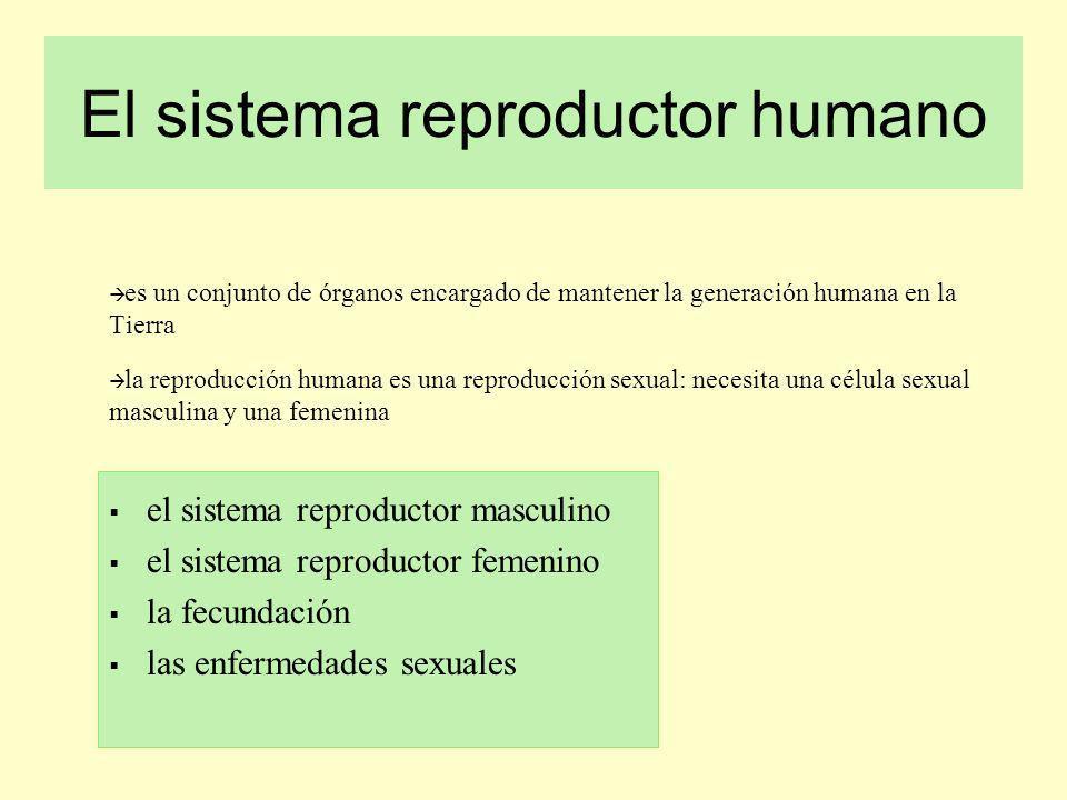 El sistema reproductor humano es un conjunto de órganos encargado de mantener la generación humana en la Tierra la reproducción humana es una reproduc