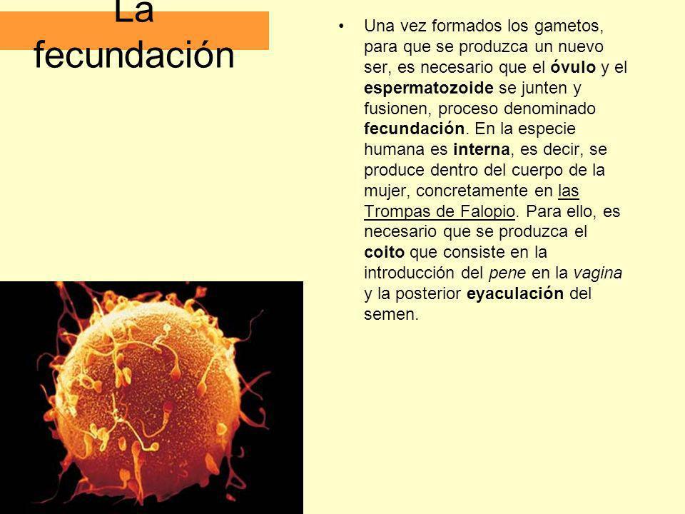 La fecundación Una vez formados los gametos, para que se produzca un nuevo ser, es necesario que el óvulo y el espermatozoide se junten y fusionen, pr