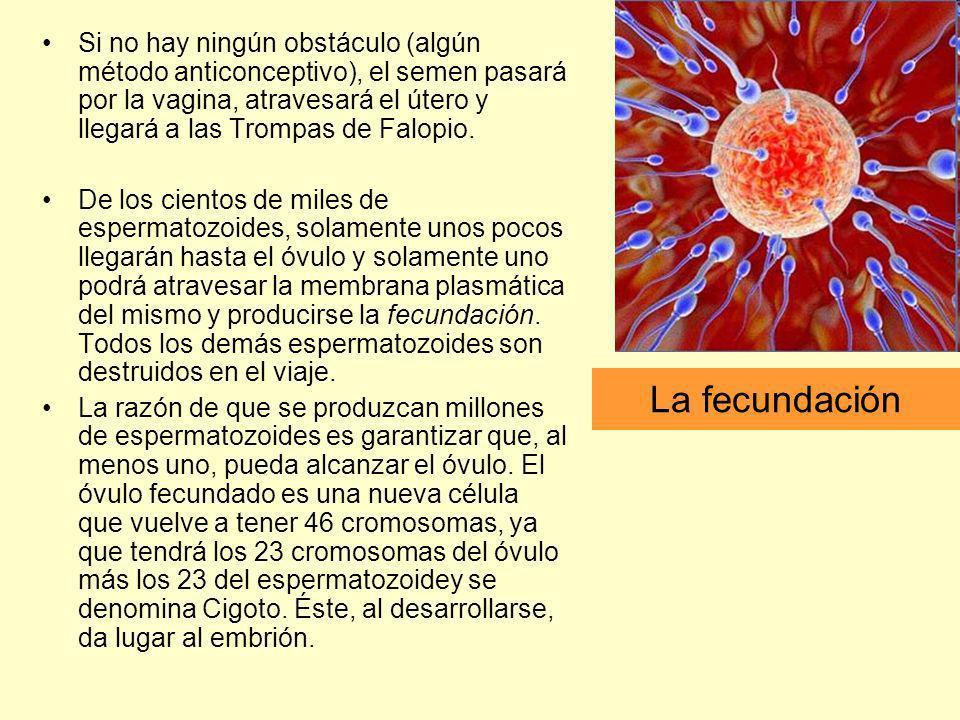 La fecundación Si no hay ningún obstáculo (algún método anticonceptivo), el semen pasará por la vagina, atravesará el útero y llegará a las Trompas de