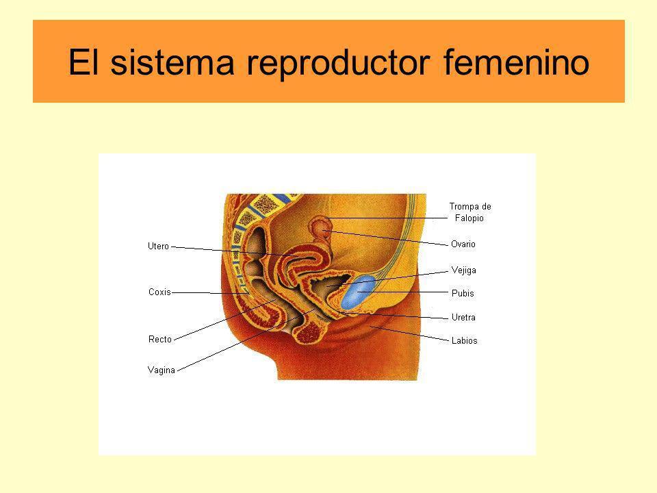 -independiente del aparato urinario PARTES DEL SISTEMA REPRODUCTOR FEMININO: los ovarios - producen óvulos y hormonas sexuales femeninas (estrógeno y progesterona); cada ovario pesa alrededor de 15 gramos; cada ovario comunica con una trompa de Falopio que desemboca en el útero la trompa - un tubo que comunica los ovarios con el útero y es un lugar donde se produce la de Falopio fecundación el útero - su función es albergar el embrión durante 9 meses, nutrirlo y protegerlo en las distintas etapas de la gestación; es un órgano muscular hueco, de paredes gruesas; durante el embarazo tiene capacidad de expanderse la vagina - un tubo musculoso que comunica el cuello del útero con el exterior la vulva - parte exterior del aparato reproductor femenino; formada por los labios mayores y menores y el clítoris