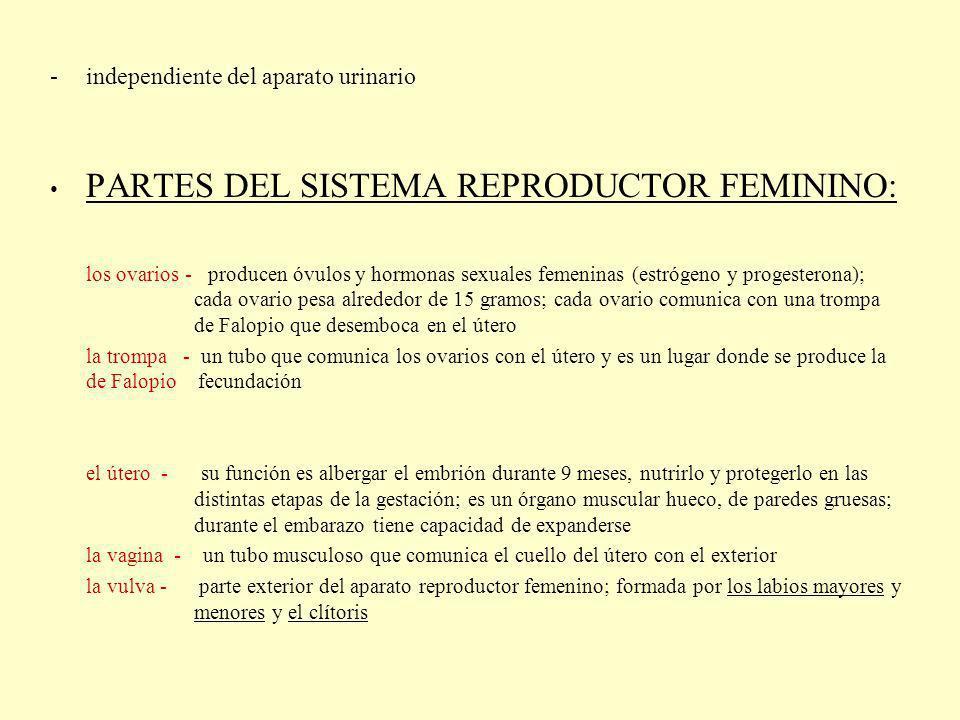 El óvulo (gameto femenino) - la ovogénesis tiene lugar en los ovarios - son las células grandes e inmóviles; son las células más voluminosas en el cuerpo de la mujer - están formados por la membrana que está cubierta por la zona pelucida (el espermatozoide tiene que atravesarla para fecundarlo) y por el núcleo