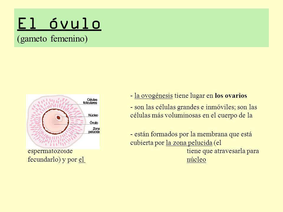 El óvulo (gameto femenino) - la ovogénesis tiene lugar en los ovarios - son las células grandes e inmóviles; son las células más voluminosas en el cue