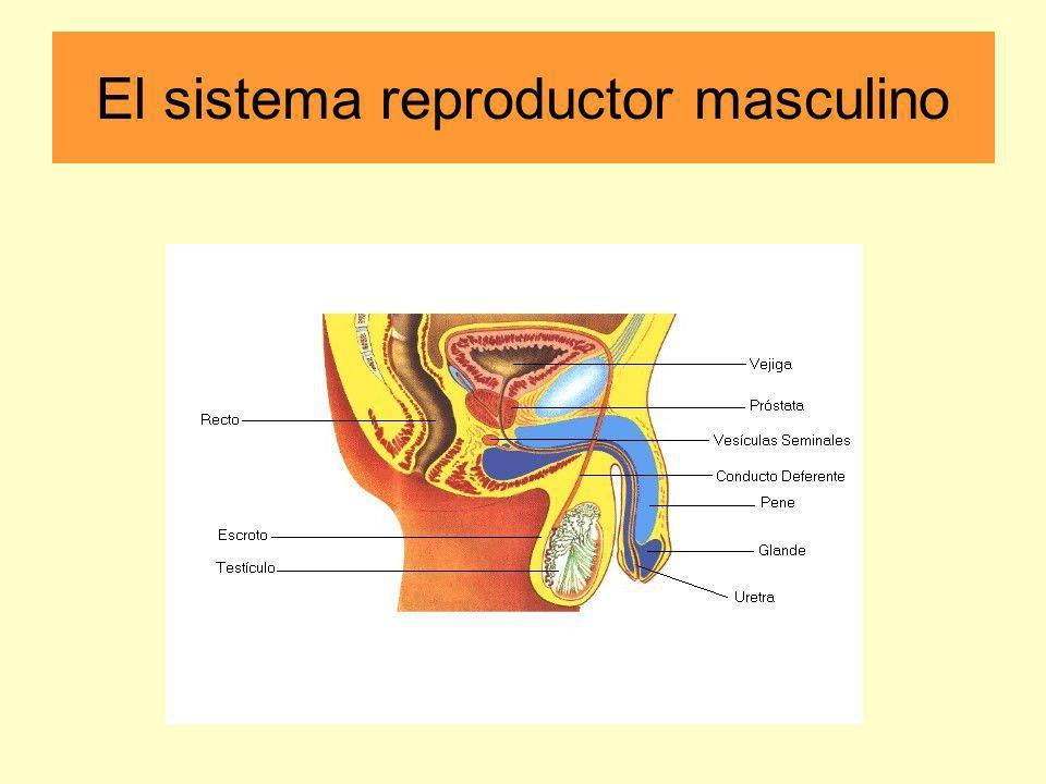 parte externa parte interna PARTE EXTERNA: el escroto - una bolsa formada por la piel que cubre los testículos el pene - un órgano copulador que es capaz de llevar los espermatozoides hasta la vagina de la mujer; está protegido por el prepucio PARTE INTERNA: uretra - un conducto encargado de conducir los espermatozoides durante la eyaculación glande - parte terminal del pene testículos - producen espermatozoides y la hormona testosterona; están en el escroto y por el conducto deferente se comunican con la uretra conducto deferente - allí se almacenan los espermatozoides y se transportan al exterior