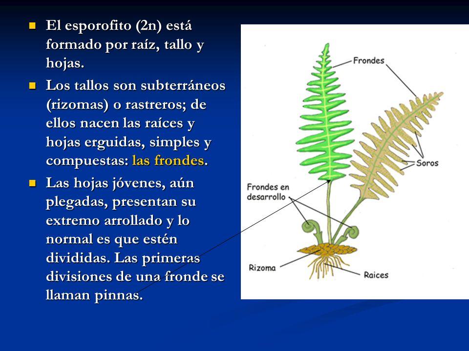 El esporofito (2n) está formado por raíz, tallo y hojas. El esporofito (2n) está formado por raíz, tallo y hojas. Los tallos son subterráneos (rizomas