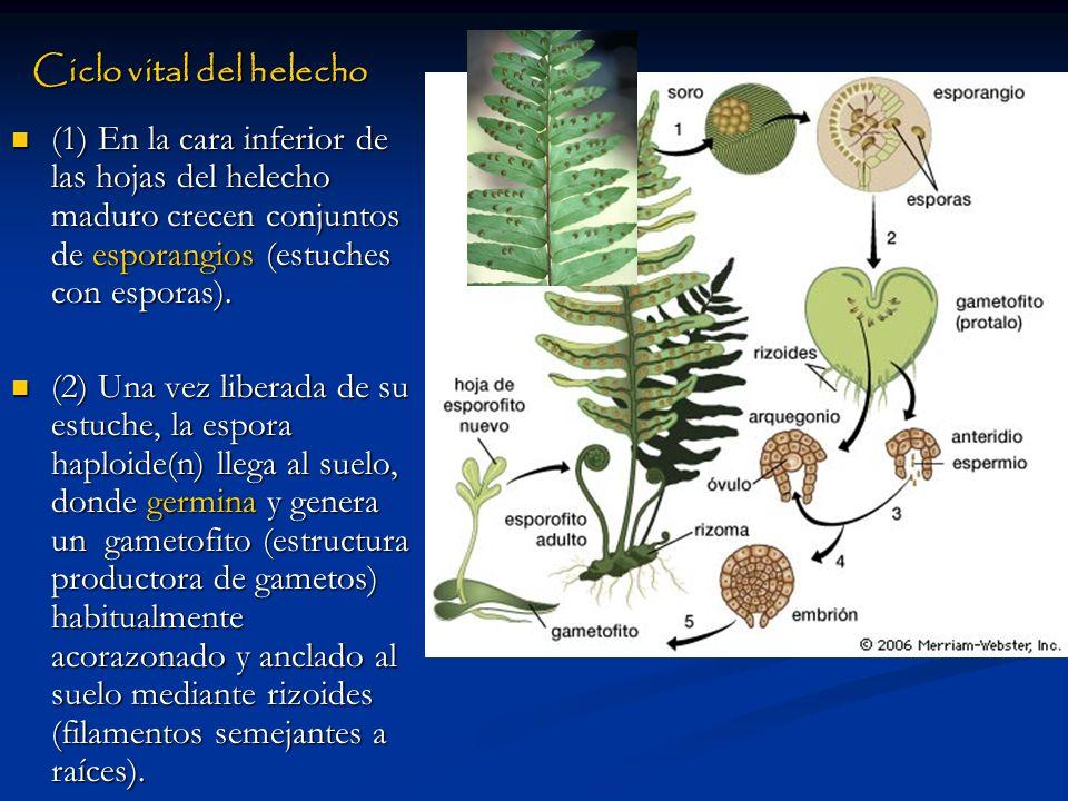Ciclo vital del helecho (1) En la cara inferior de las hojas del helecho maduro crecen conjuntos de esporangios (estuches con esporas). (2) Una vez li