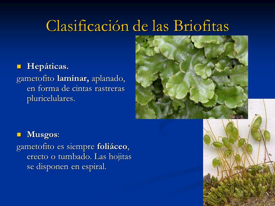 Clasificación de las Briofitas Hepáticas. Hepáticas. gametofito laminar, aplanado, en forma de cintas rastreras pluricelulares. Musgos: Musgos: gameto