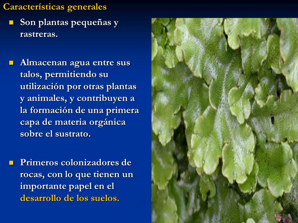 Son plantas pequeñas y rastreras. Almacenan agua entre sus talos, permitiendo su utilización por otras plantas y animales, y contribuyen a la formació