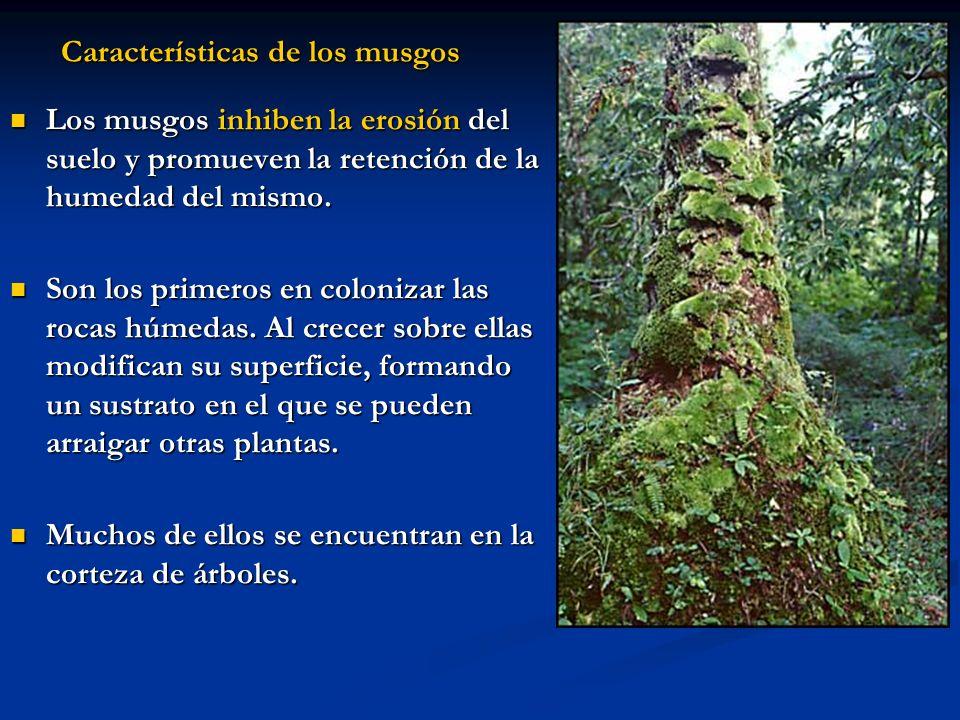 Características de los musgos Los musgos inhiben la erosión del suelo y promueven la retención de la humedad del mismo. Los musgos inhiben la erosión